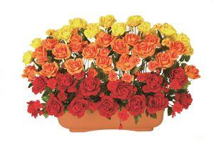 【フラワー装飾】プランター ローズ3色ラインイエローオレンジレッド(S~LL)イメージ