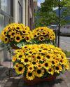 【フラワー装飾】 造花プランター ひまわり&バーチリーフ(S~LL)イメージ2